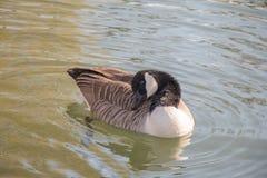 清洗它的羽毛的加拿大鹅 免版税库存照片