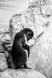 清洗它的羽毛的Pinguin 免版税库存照片