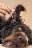 清洗狗的耳朵与棉花棒 图库摄影
