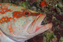 清洗珊瑚石斑鱼的虾 库存图片