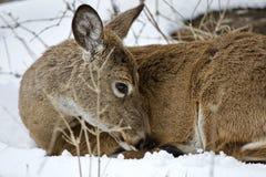 清洗他的毛皮的一头野生鹿的美丽的画象在多雪的森林里 库存照片