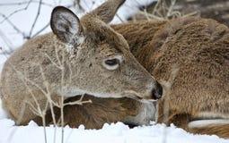 清洗他的毛皮的一头野生鹿的美好的图象在多雪的森林里 库存照片