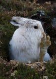 清洗他的脚的山野兔 库存照片