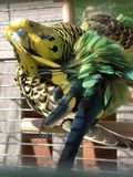清洗羽毛的鹦哥 图库摄影