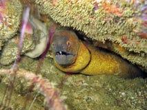 渐近的海鳗黄色 库存图片