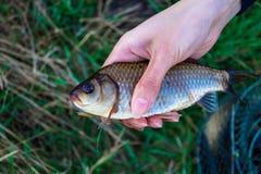 渔在人的手上捉住了一个鲤鱼 库存照片