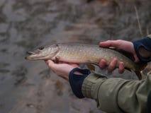 渔夫举行小白斑狗鱼Esox lucius 库存照片