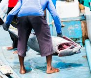 渔夫卸载从小船,男性,马尔代夫的一条大金枪鱼 特写镜头 回到视图 库存照片