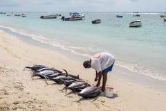 渔夫和九条大金枪鱼 库存图片
