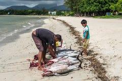 渔夫和大金枪鱼在绢毛猴使-清洁鱼靠岸 免版税图库摄影