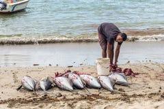 渔夫和大金枪鱼在绢毛猴靠岸 免版税图库摄影