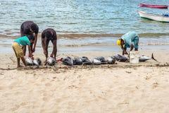 渔夫和大金枪鱼在绢毛猴靠岸 库存照片