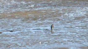 渔夫收集与低潮的贝类 免版税库存照片
