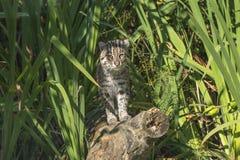 渔猫(Prionailurus viverrinus) 免版税图库摄影