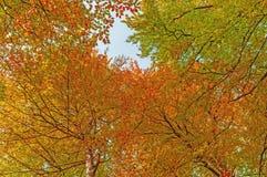 渔秋天查寻低射击结构树的山毛榉森林 图库摄影