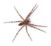 渔蜘蛛 库存图片