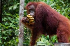 渔郎吃香蕉的Utan在婆罗洲印度尼西亚 库存照片