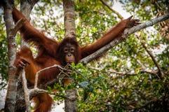 渔郎Utan坐一棵树在婆罗洲印度尼西亚 免版税库存照片
