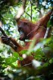 渔郎Utan坐一棵树在婆罗洲印度尼西亚 库存照片