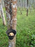 渗流在橡胶树外面的乳汁 免版税库存图片