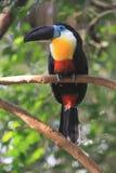 渠道开帐单的toucan 库存照片