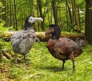 渡渡鸟鸟在森林里 免版税库存照片
