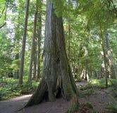 温和花旗松巨型的雨林 免版税库存照片