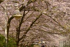 温哥华春天樱花 加拿大 图库摄影