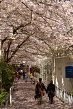 温哥华春天樱花 加拿大 库存图片
