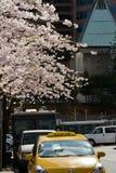温哥华春天樱花 加拿大 免版税库存图片