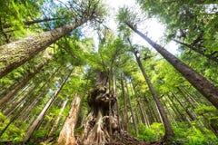 温哥华森林 免版税图库摄影