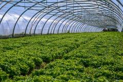 温室内部沙拉耕种的 免版税库存照片