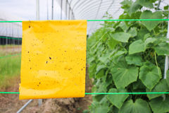 温室农业的黄色昆虫胶浆陷井黄瓜植物 免版税库存图片