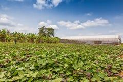 温室在非洲种植园,卡宾达市 安格斯 库存图片