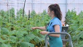 温室工作者对菜在移动的机器关心,站立,在白色重绳索附近包裹词根的末端增长 股票视频