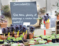 温室市场摊位的多汁植物 库存照片