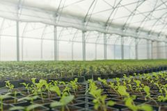 温室植物托儿所 春天幼木,年幼植物生长 免版税库存照片