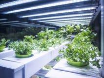 温室植物行增长与LED轻的室内农厂农业 免版税库存照片