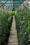 温室用蕃茄 库存图片