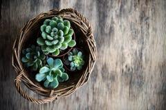 温室种植盆,在篮子的多汁植物 免版税库存图片