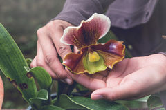 温室花幼木 妇女拿着兰花的` s手 免版税库存照片