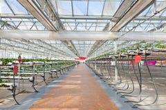 温室草莓 图库摄影