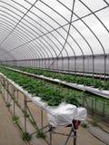 温室草莓 免版税库存照片