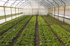 温室莴苣 免版税库存照片