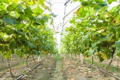 温室葡萄园在中国 库存照片