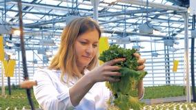 温室雇员举一个罐用发芽的莴苣 影视素材