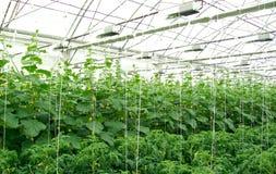 温室黄瓜 免版税库存图片