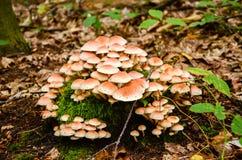 温床蘑菇 免版税图库摄影