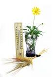 温度计麦子的围场、耳朵和雏菊 免版税图库摄影