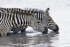 温文地弯曲在河和饮用水,马塞语玛拉的两匹美丽的斑马照片  库存照片